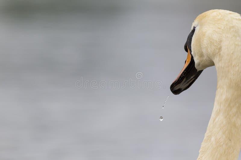 En stående av en Cygnusolor för stum svan som är dricksvatten Med att drypa för vatten fortfarande av dess fjädrar och näbb arkivfoto