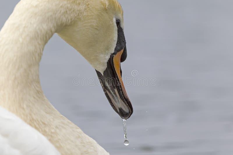 En stående av en Cygnusolor för stum svan som är dricksvatten Med att drypa för vatten fortfarande av dess fjädrar och näbb royaltyfria foton