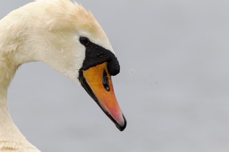 En stående av en Cygnusolor för stum svan som är dricksvatten Med att drypa för vatten fortfarande av dess fjädrar och näbb royaltyfri fotografi