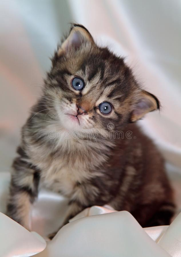 En stående av en gammal kattunge för små få veckor royaltyfria foton