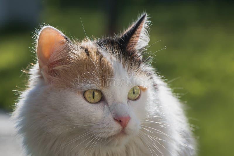 En stående av en härlig vuxen fluffig långhårig tri-färgad katt med gula ögon och den rosa näsan på en suddig grön bakgrund arkivbilder