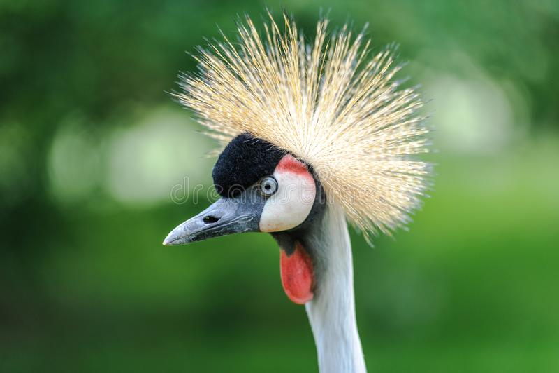 En stående av en härliga Grey Crowned Crane royaltyfria bilder