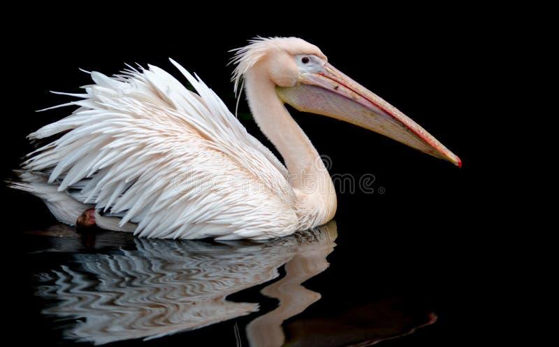 En stående av en pelikansimninguppsättning mot en svart bakgrund, royaltyfria bilder