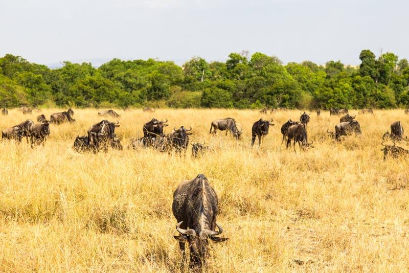 En stående av savannahen under en stor flyttning kenya mara masai arkivfoto