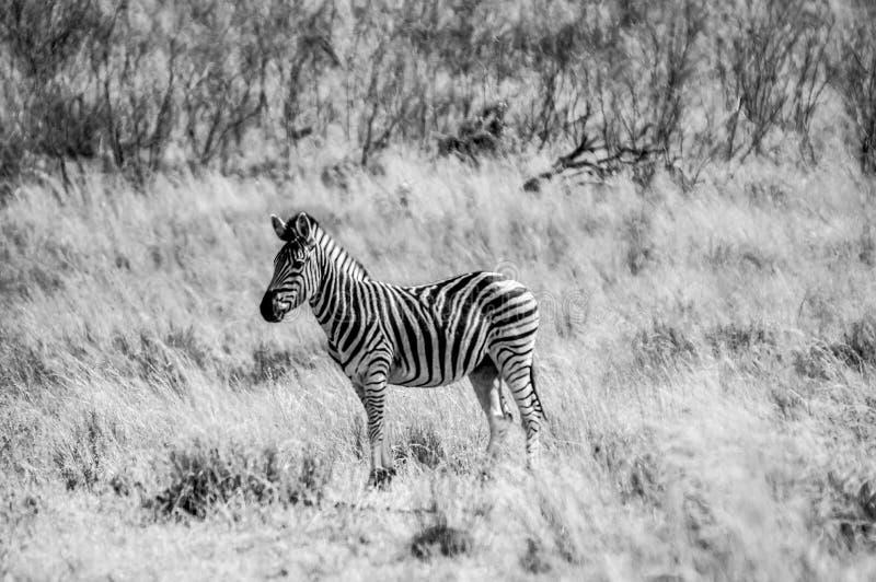 En stående av sebran i svartvitt i den Kruger nationalparken royaltyfri bild