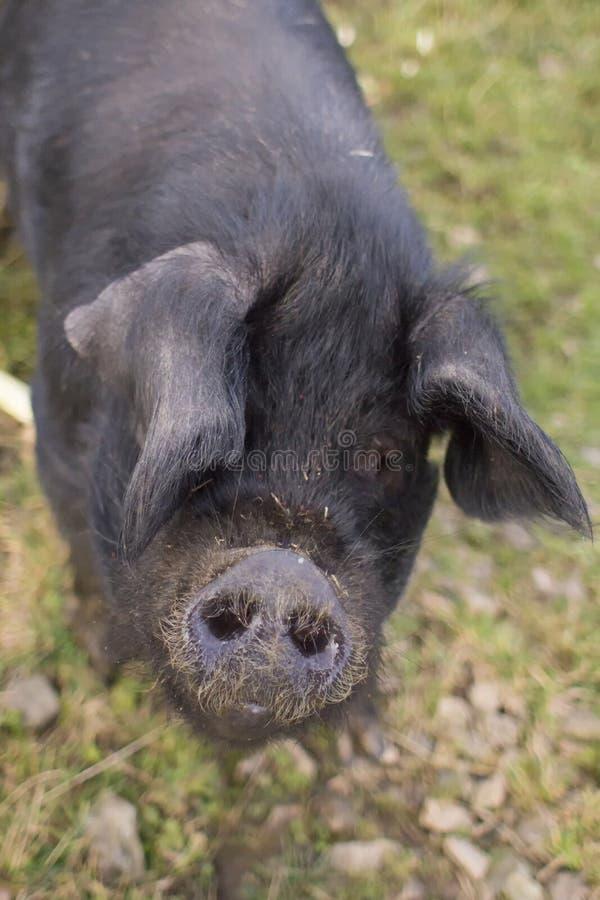 En stående av stora svarta svin arkivbild