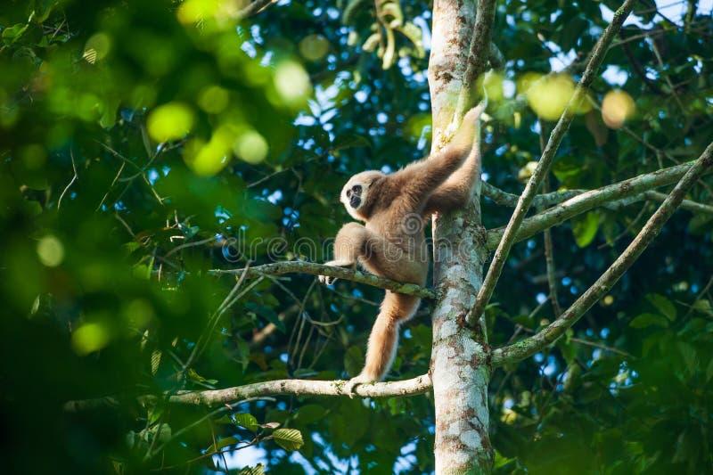 En stående av Vit-räckte Gibbon som sitter på filialerna av det tropiska trädet, blick som människor Härliga ögon och päls brigha royaltyfri bild