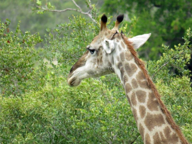 En stående som skjutas av en giraff arkivbild