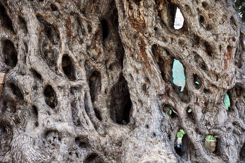 En stam av gamla Olive Tree royaltyfri bild