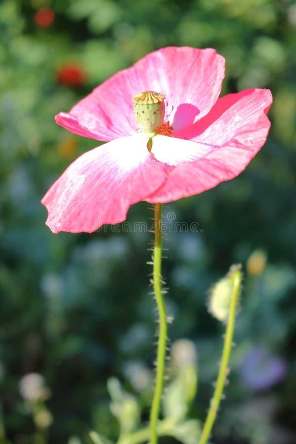 En stigma och en stil för blomma` s fotografering för bildbyråer