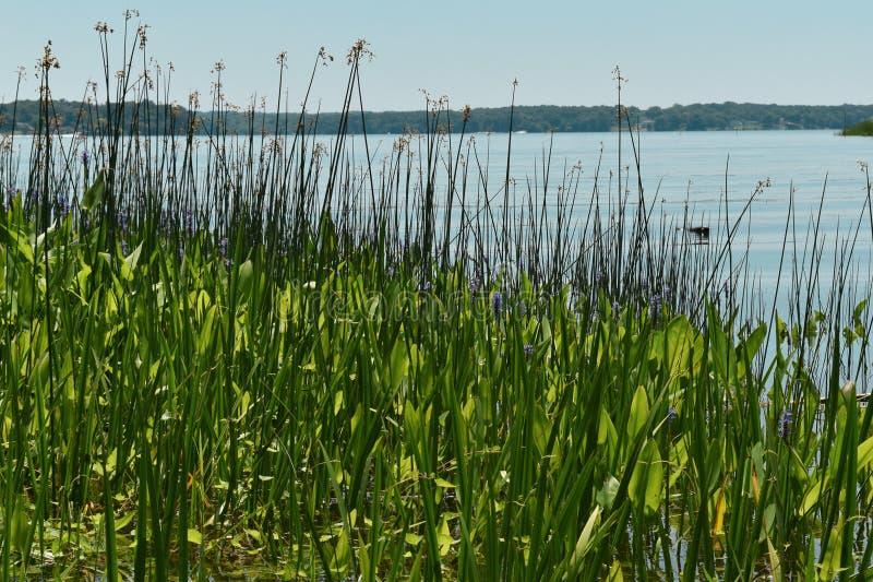 En stillsam sikt av en öppning av Potomacet River till och med gröna vasser arkivbilder
