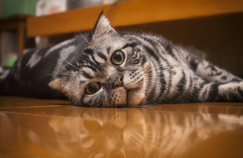 En stirrig katt som ligger på golv arkivbilder