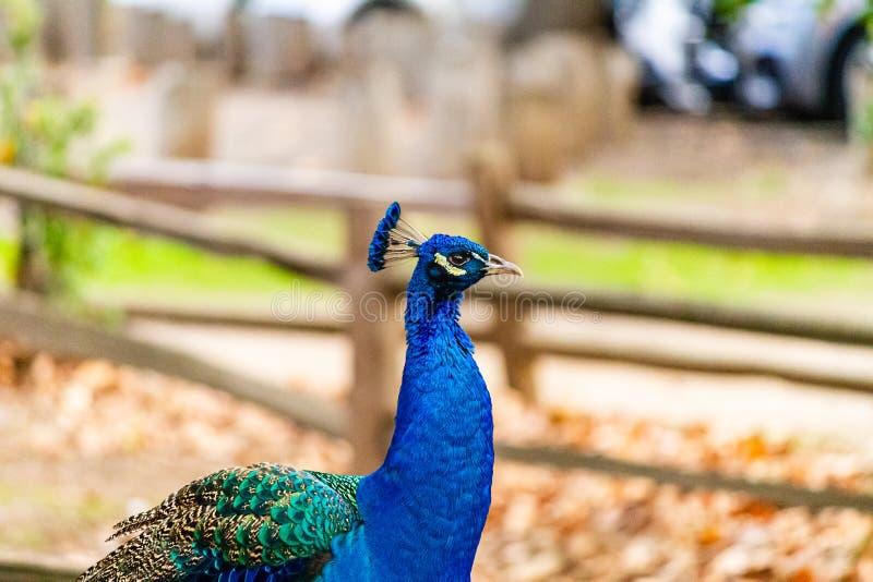En stolt påfågelstående på en lantgård royaltyfria bilder