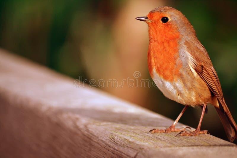 En stolt rödhake fotografering för bildbyråer