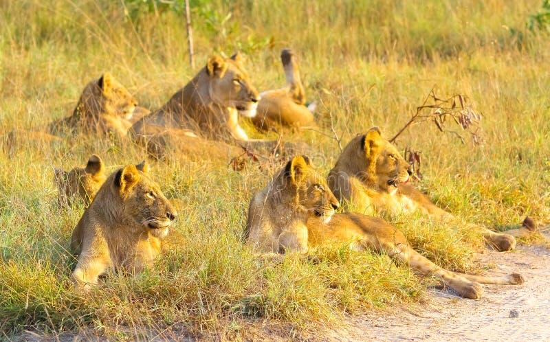 En stolthet av afrikanska lejon som kopplar av i gräset i en Sydafrika royaltyfri bild