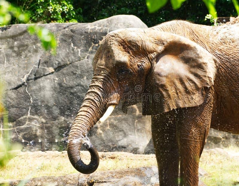 En stor afrikansk elefant som ger sig en dusch royaltyfri bild