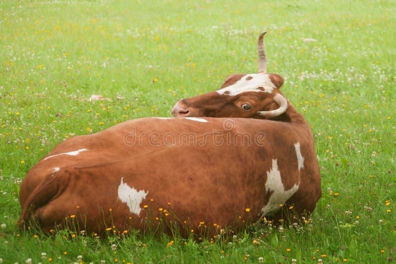 En stor brun ko på närbilden för grönt gräs royaltyfria foton