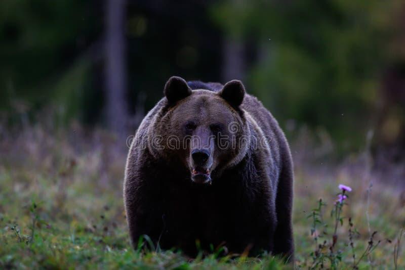 En stor brunbjörnman in i en bergskog royaltyfri bild
