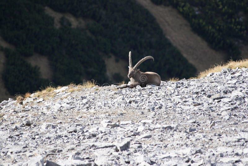 En stor capricorn är på ett stenfält arkivbild