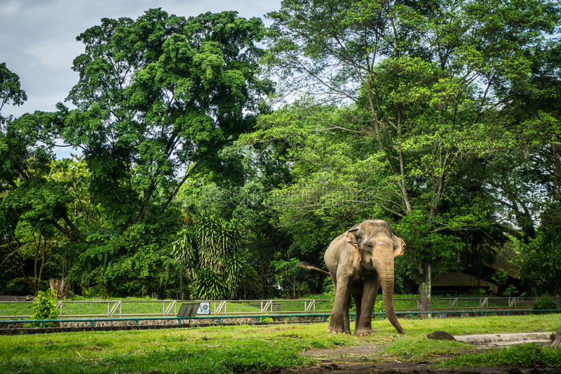En stor elefant i buren med pölen som omger vid staketet och trädfotoet som tas i den Ragunan zoo Jakarta Indonesien arkivbilder