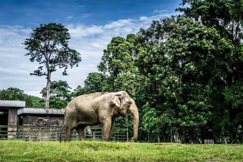 En stor elefant i buren som omger vid staketet och träd och härlig himmel som bakgrundsfotoet som tas i den Ragunan zoo arkivfoton