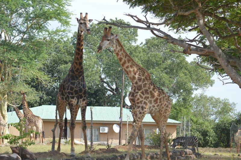En stor familj av giraffet i Marloth parkerar att gå på gator runt om hus royaltyfri bild