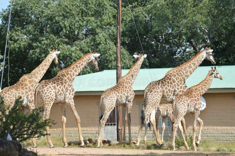 En stor familj av giraffet i Marloth parkerar att gå på gator runt om hus fotografering för bildbyråer