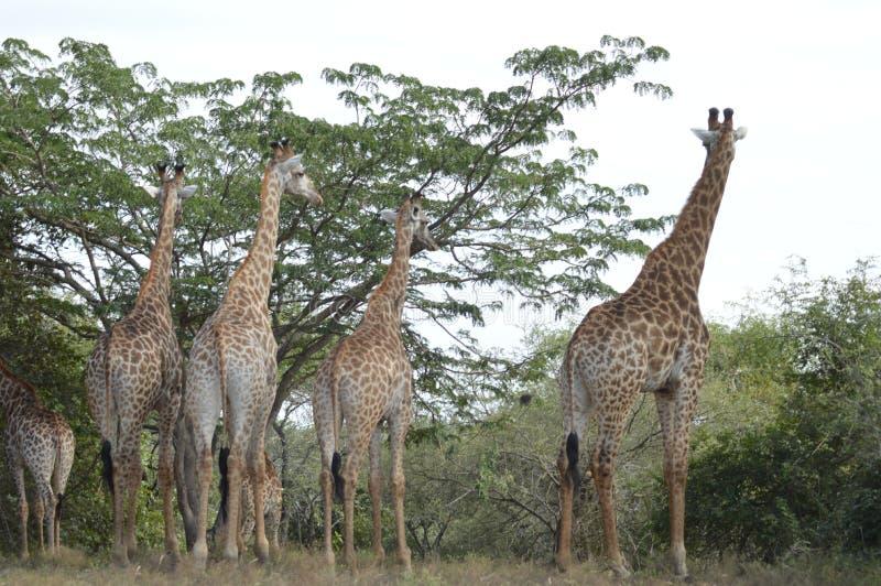 En stor familj av giraffet i Marloth parkerar att gå på gator runt om hus arkivfoto