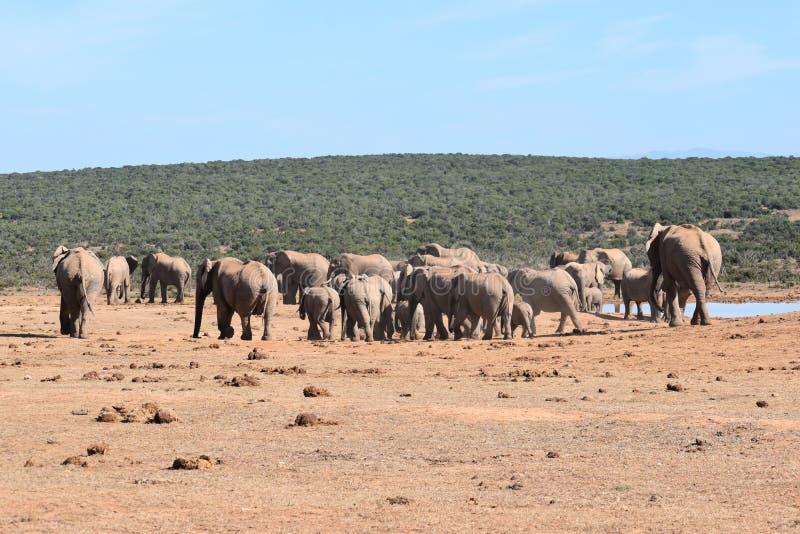 En stor flock av elefanter på ett waterholedricksvatten på en solig dag i Addo Elephant Park i Colchester, Sydafrika royaltyfri foto