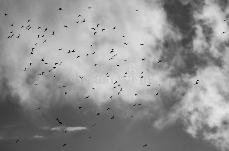 En stor flock av hundra galanden som flyger för att roost arkivfoto