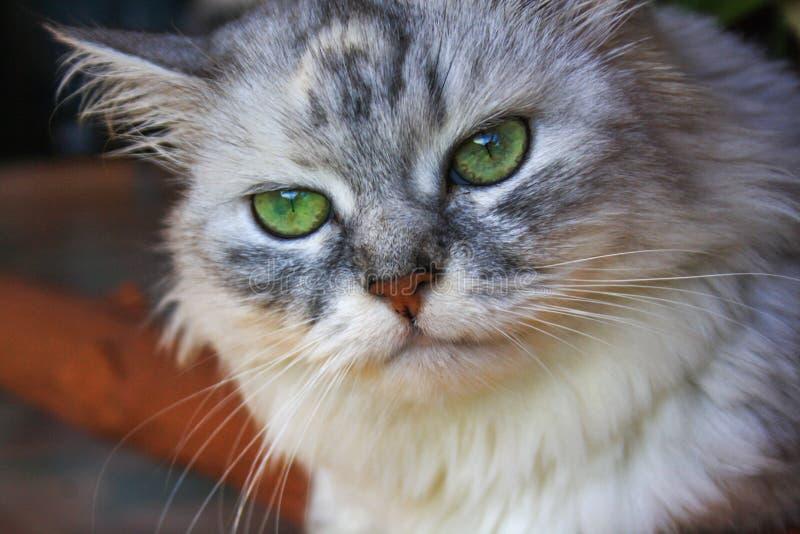 En stor fluffig Siberian katt med ett missnöjt uttryck av tystar ned arkivfoto