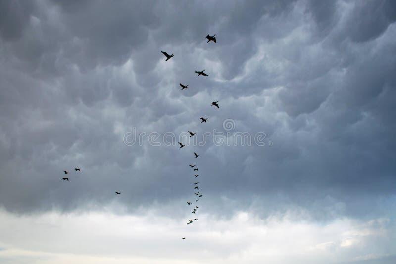 En stor folkmassa av kormoran korsar den mörka himlen på en stormig dag på havet royaltyfria foton