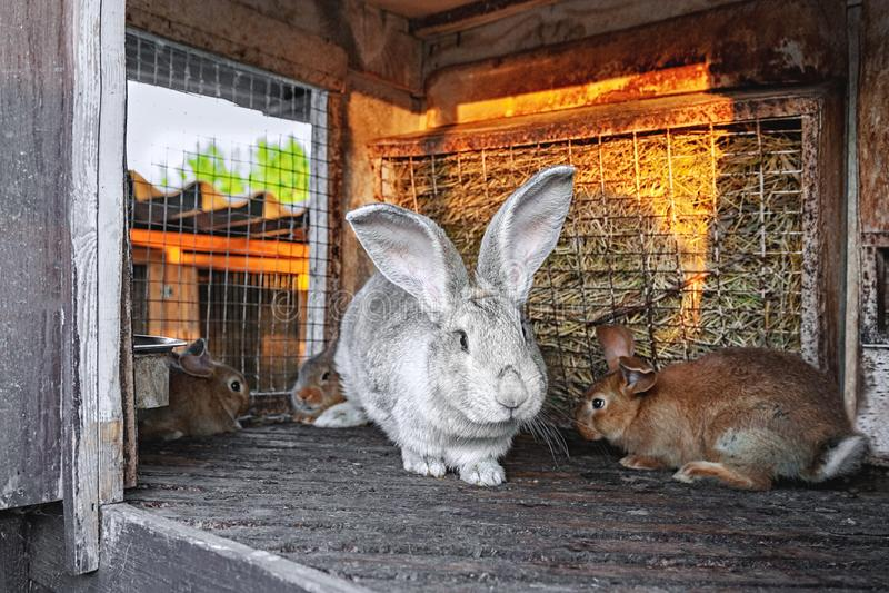 En stor grå kanin med små kaniner bor i en bur med hö Till salu lantgårdboskap royaltyfria foton