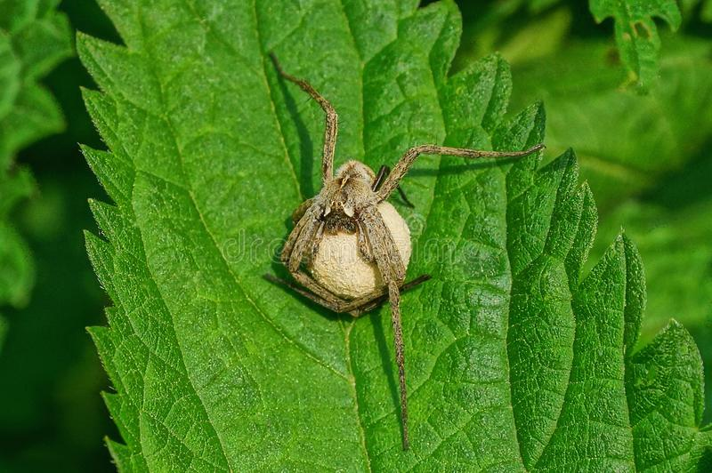 En stor grå spindel rymmer ett vitt ägg på ett grönt blad arkivbilder