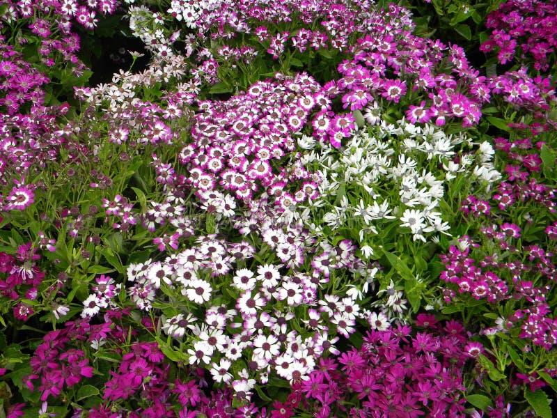 En stor grupp av lila-stil blommor royaltyfri bild
