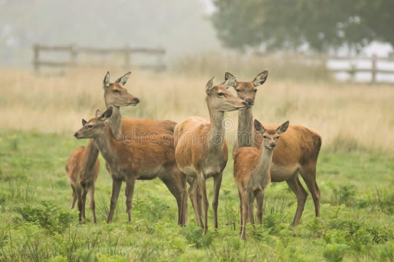 En stor grupp av röda hjortar arkivfoton