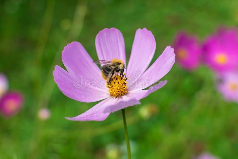 En stor härlig humla på en blomma med purpurfärgade kronblad samlar nektar royaltyfria foton