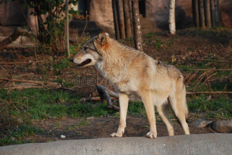 En stor härlig varg visar att hans formidabelt grinar och styrka royaltyfria foton