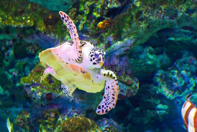 En stor havssköldpadda simmar i ett akvarium Botten besk?dar royaltyfri fotografi
