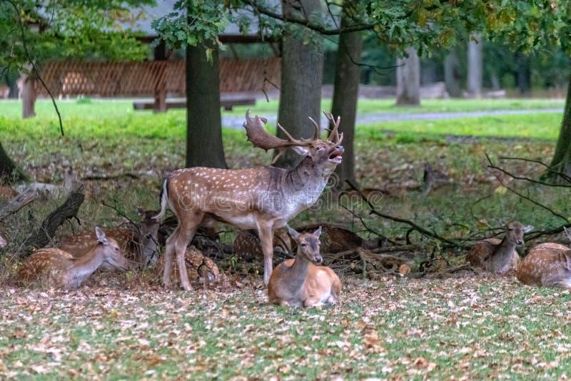 En stor hjort i det l?st royaltyfria foton