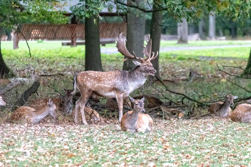 En stor hjort i det l?st arkivfoton