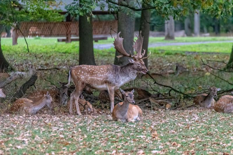 En stor hjort i det l?st royaltyfri bild