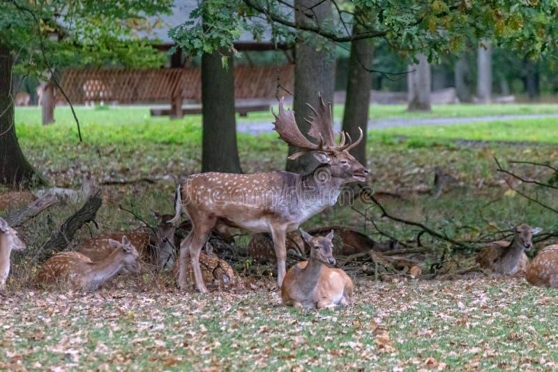 En stor hjort i det l?st arkivfoto