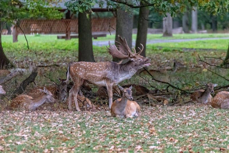En stor hjort i det l?st fotografering för bildbyråer