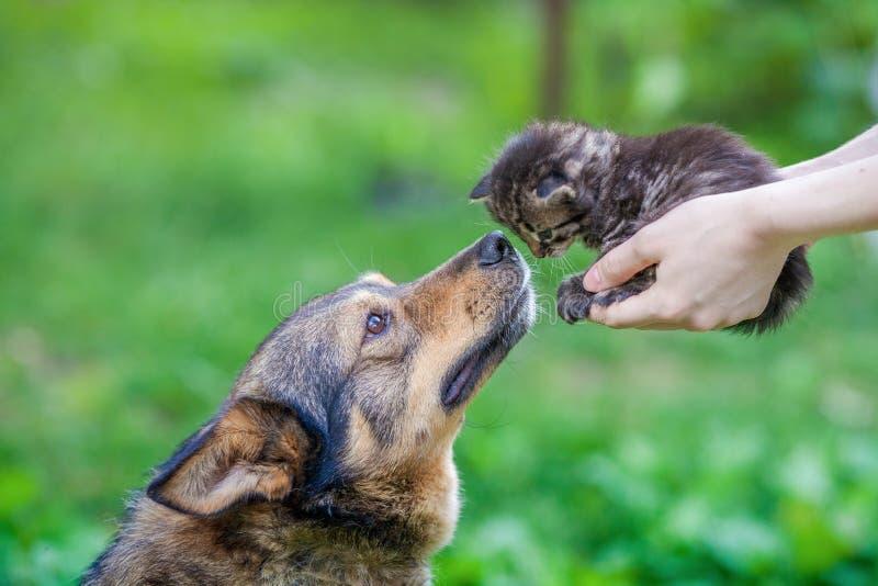 En stor hund som sniffar en liten kattunge royaltyfria bilder