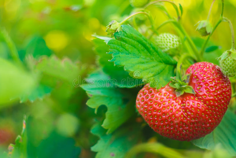 En stor jordgubbe på hennes växt arkivbild
