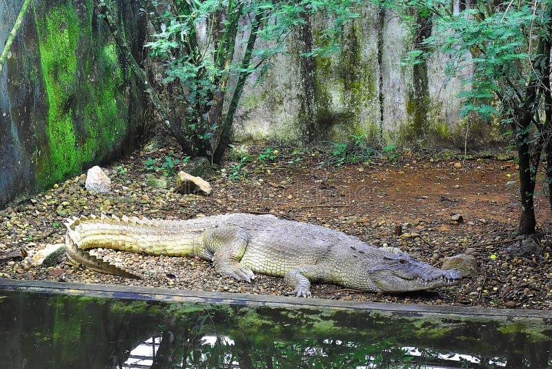 En stor krokodil vilar i dess bur eller torva royaltyfria foton