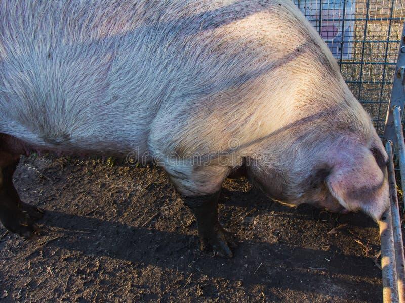 En stor kropp av svin, lantgårdplats royaltyfria bilder