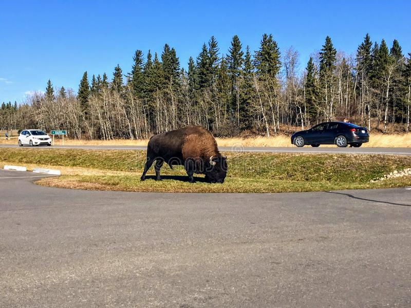 En stor manlig bison som betar vid parkeringsplatsen som Astotin sjön, i älgönationalpark, utanför Edmonton, Alberta, Kanada royaltyfri bild
