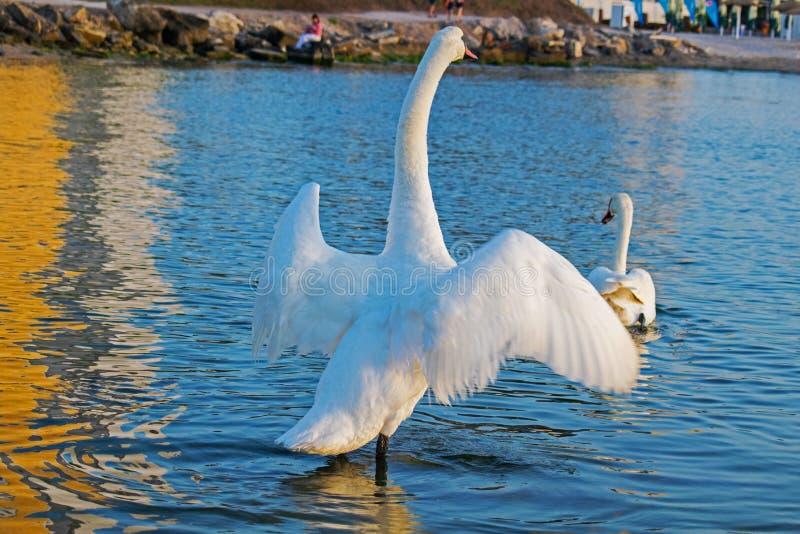 En stor och härlig svan med breda vingar, på en sommarmorgon, på kusten Ett annat svanbad i havsvatten royaltyfri bild
